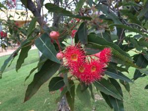 gum nut flowers
